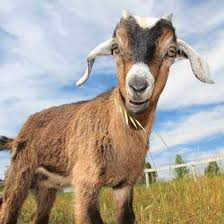 Raising Goats For Fun And Profit Grit