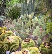 cactus garden tucson botanical garden