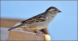 Sparrow in Hindi । गौरैया चिड़िया के बारे में 21 रोचक तथ्य - ←GazabHindi→