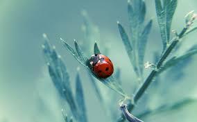 ladybug wallpaper 1920x1200 46390