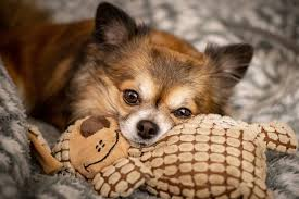 20 best toys for small dogs in 2019