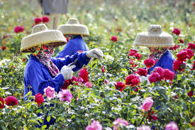 everything s coming up roses in sanya