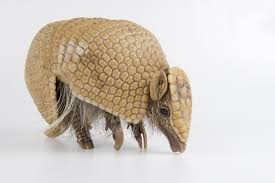Photo Ark: Southern Three-Banded Armadillo | National Geographic ...