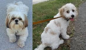 Shih Tzu vs Cavachon - Breed Comparison ...