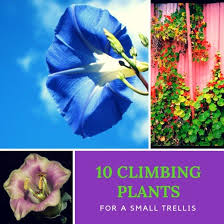 climbing plants for a small trellis
