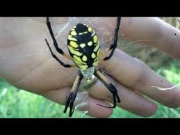 the yellow and black garden spider