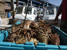 Lobster mini-season attracts thousands ...