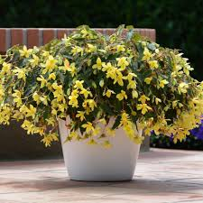 easy to grow annual shade flowers