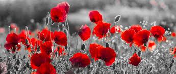 the poppy flower a memorial day