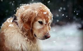 golden retriever dog snow