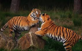 Tigre, Tipos y Características - BioEnciclopedia