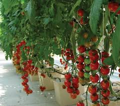 grow in a hydroponic greenhouse