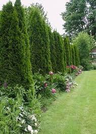 How To Space A Privacy Fence Using Arborvitae Pyramidalis Ehow Privacy Fence Landscaping Fence Landscaping Privacy Landscaping