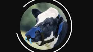 Mascherine che intrappolano metano di rutti e respiri delle mucche –  Notizie scientifiche.it