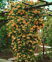 Honeysuckle Goldflame Specials From Spalding Bulb Climbing Flowers Garden Vines Climbing Plants