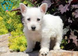 Frankie | West Highland Terrier Puppy For Sale | Keystone Puppies
