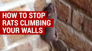 How To Stop Rats From Climbing Your Walls Preventative Measures