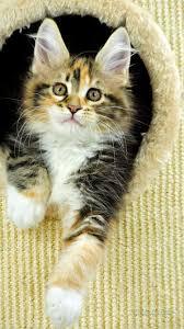 Iphone 6 القطط خلفية Iphone 6 جميل خلفية 7117289