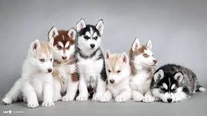 husky puppy wallpaper best of siberian