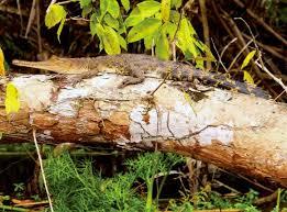 Crocodiles Can Climb Trees Biologists Find Biology Sci News Com