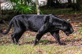 Mistero incredibile: pantera nera avvistata a Foggia FOTO ...