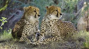 cheetahs the big cats that can totally