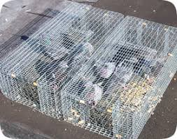 pigeon trapping tips