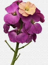 نبات البنفسج السنوي نبات عشبي Wallflower مولعا Ecran أرجواني