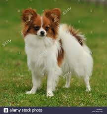 papillon male Stock Photo - Alamy