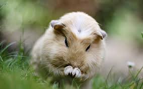 70 guinea pig wallpapers on wallpaperplay