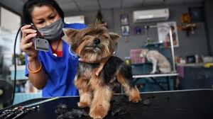 Grooming service returns for Thailand's pampered pets | World ...