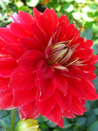 bright red flower bloom flower