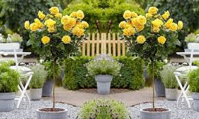 yellow flowering patio rose trees