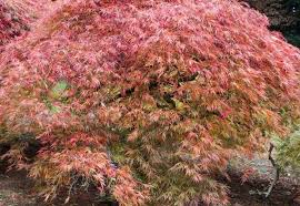 ten trees suitable for small gardens