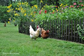 Gardening With Chickens And Picket Fences Community Chickens