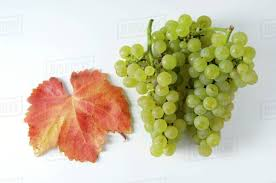 Image result for free photos of chardonnay grapes
