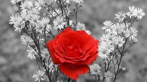 اليكم مجموعة كبيرة من صور الورود الرائعة عالية الدقة ورد أحمر في