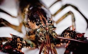 Lobsters Pee From Their Faces And 8 ...
