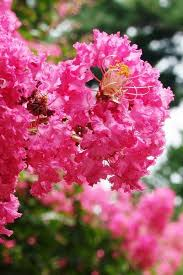 3 gallon)PINK VELOUR' CRAPE MYRTLE, pink flowers/showy wine red folia -  Pixies Gardens