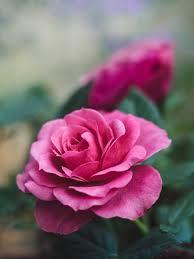 صورة وردة