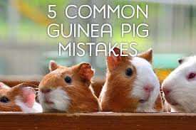 5 mon mistakes guinea pig owners