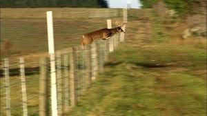 The Private Life Of Deer Clearing Fences Nature Pbs