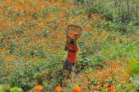 Marigold flowers are going to be rarer and dearer this Tihar, traders say
