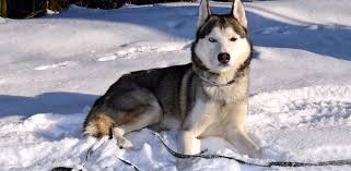 what is the best dog food for huskies