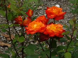 Roses in bloom - Ada Ryan Gardens - nice for a relaxing walk - Picture of  Foreshore Motor Inn, Whyalla - Tripadvisor