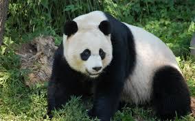 panda bear wallpaper 24374
