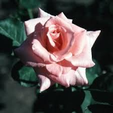 Sonia Grandiflora Rose Buy Online, Best Prices