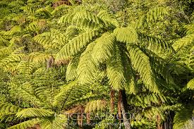 Mamaku, black tree fern, Cyathea medullaris, largest NZ fern ...