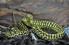 zebra jungle carpet pythons at aar