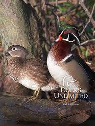 50 wood duck wallpapers on wallpaperplay